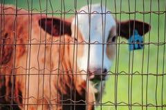 Εγκλωβισμένο ζώο αγροκτημάτων Στοκ φωτογραφία με δικαίωμα ελεύθερης χρήσης