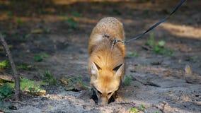 Εγχώρια αλεπού που σκάβει μια τρύπα απόθεμα βίντεο