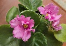 Εγχώρια βιολέτα σε ένα δοχείο λουλουδιών του λεπτού ρόδινου χρώματος Στοκ Φωτογραφίες