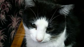 Εγχώρια γάτα γραπτή Κινηματογράφηση σε πρώτο πλάνο φιλμ μικρού μήκους