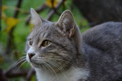 Εγχώρια γάτα της Νίκαιας Στοκ Φωτογραφίες