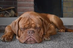 Εγχώρια εστία σκυλιών Στοκ εικόνα με δικαίωμα ελεύθερης χρήσης