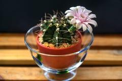 Εγχώρια διακόσμηση του λουλουδιού κάκτων Στοκ Εικόνες