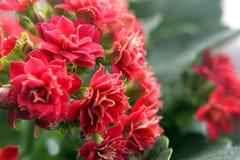 Εγχώρια όμορφα λουλούδια Στοκ εικόνες με δικαίωμα ελεύθερης χρήσης