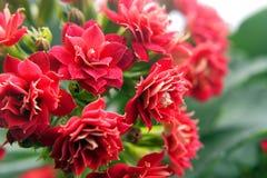Εγχώρια όμορφα λουλούδια Στοκ εικόνα με δικαίωμα ελεύθερης χρήσης