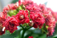 Εγχώρια όμορφα λουλούδια Στοκ Φωτογραφία