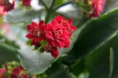 Εγχώρια όμορφα λουλούδια Στοκ Φωτογραφίες