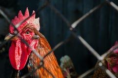 Εγχώριοι κόκκορας και κότα πίσω από το πηχάκι καλωδίων στο σπίτι κοτών Σκοτεινό τ Στοκ Φωτογραφία