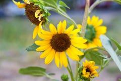 Εγχώριος ηλίανθος ως λουλούδι στα κρεβάτια Στοκ Φωτογραφία