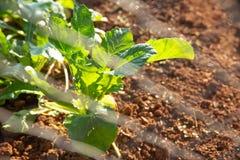 Εγχώριος οργανικός φυτικός κήπος πράσινων εγκαταστάσεων στοκ εικόνες