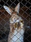 Εγχώριο κουνέλι σε καθαρό Στοκ φωτογραφία με δικαίωμα ελεύθερης χρήσης