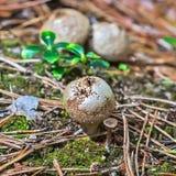 Εδώδιμα ακανθωτά λατινικά Puffball μανιταριών Lycoperdon perlatum Στοκ Φωτογραφία
