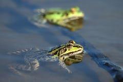 εδώδιμοι βάτραχοι πράσινοι Στοκ φωτογραφία με δικαίωμα ελεύθερης χρήσης