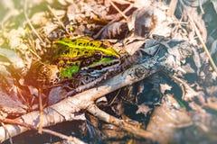 Εδώδιμος βάτραχος, πράσινος βάτραχος, κοινός βάτραχος νερού στοκ φωτογραφία με δικαίωμα ελεύθερης χρήσης