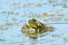 Εδώδιμος βάτραχος στο νερό στοκ φωτογραφίες