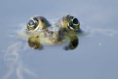 Εδώδιμος βάτραχος στοκ εικόνες
