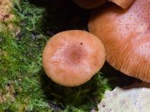Εδώδιμο μύκητας μελιού αγαρικών μανιταριών ή mellea Armillaria, μακρο, εκλεκτική εστίαση ΚΑΠ, ρηχό DOF Στοκ φωτογραφίες με δικαίωμα ελεύθερης χρήσης
