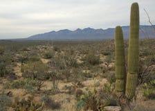 Εθνική ανατολή πάρκων Saguaro της Αριζόνα Στοκ Εικόνα