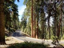 Εθνική οδός που περιβάλλεται Sequoia στα δέντρα Στοκ Εικόνα
