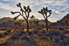 Εθνικό ηλιοβασίλεμα πάρκων δέντρων του Joshua στοκ εικόνες