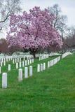 Εθνικό νεκροταφείο του Άρλινγκτον με το όμορφες άνθος κερασιών και τις ταφόπετρες, Washington DC στοκ εικόνα