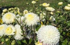 Εθνικό λουλούδι του αστέρα Στοκ Φωτογραφία