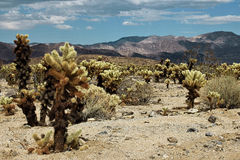 Εθνικό πάρκο δέντρων του Joshua, έρημος Μοχάβε, Καλιφόρνια Στοκ Εικόνες