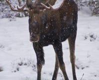 Εθνικό πάρκο ιασπίδων αλκών χιονιού Στοκ Εικόνες