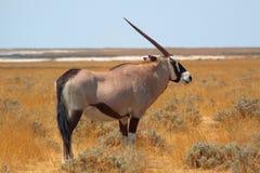 εθνικό πάρκο της Ναμίμπια etosha στοκ εικόνα με δικαίωμα ελεύθερης χρήσης