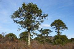 Εθνικό πάρκο Conguillio στη νότια Χιλή Στοκ φωτογραφία με δικαίωμα ελεύθερης χρήσης