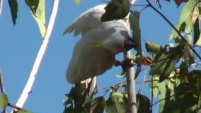 Εθνικό πάρκο kakadu της Αυστραλίας, βράχος Nourlangie, παπαγάλος Cockatoo ή Cacatua απόθεμα βίντεο