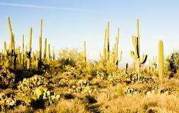 Εθνικό πάρκο Saguaro Στοκ Φωτογραφία