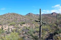 Εθνικό τοπίο πάρκων Saguaro Στοκ Εικόνες