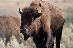 εθνικό yellowstone του Wyoming πάρκων βισώ&n Στοκ εικόνα με δικαίωμα ελεύθερης χρήσης