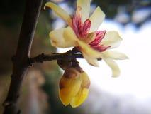 Ειδικό primrose λουλούδι που ανθίζει το χειμώνα Στοκ φωτογραφίες με δικαίωμα ελεύθερης χρήσης
