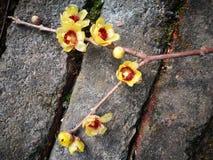 Ειδικό primrose λουλούδι που ανθίζει το χειμώνα Στοκ εικόνες με δικαίωμα ελεύθερης χρήσης