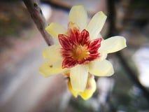 Ειδικό primrose λουλούδι που ανθίζει το χειμώνα Στοκ Εικόνες