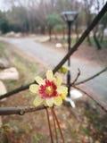 Ειδικό primrose λουλούδι που ανθίζει το χειμώνα Στοκ φωτογραφία με δικαίωμα ελεύθερης χρήσης
