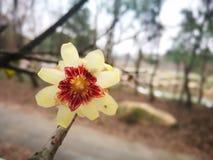 Ειδικό primrose λουλούδι που ανθίζει το χειμώνα Στοκ Φωτογραφίες