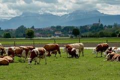 Ειδυλλιακό τοπίο μπροστά από τις Άλπεις με τις αγελάδες Στοκ Εικόνες