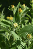 Εικόνα γοητείας μιας βλάστησης η μαύρη Eyed Susan Στοκ φωτογραφία με δικαίωμα ελεύθερης χρήσης