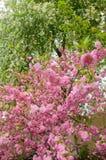 Εικόνα ενός ανθίζοντας δέντρου κερασιών Στοκ εικόνα με δικαίωμα ελεύθερης χρήσης