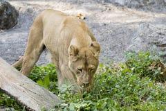 Εικόνα ενός θηλυκού λιονταριού στο υπόβαθρο φύσης στοκ εικόνα με δικαίωμα ελεύθερης χρήσης