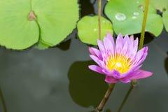 Εικόνα ενός λουλουδιού λωτού στο νερό Στοκ φωτογραφία με δικαίωμα ελεύθερης χρήσης