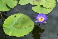 Εικόνα ενός λουλουδιού λωτού στο νερό Στοκ Φωτογραφίες