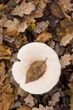 Εικόνα θέματος φθινοπώρου που παρουσιάζει μια άδεια της οξιάς που έπεσε ακριβώς επάνω στοκ φωτογραφίες με δικαίωμα ελεύθερης χρήσης