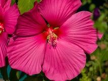 Εικόνα κινηματογραφήσεων σε πρώτο πλάνο ενός ρόδινου hibiscus λουλουδιού στοκ εικόνα