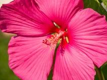 Εικόνα κινηματογραφήσεων σε πρώτο πλάνο ενός ρόδινου hibiscus λουλουδιού στοκ εικόνες