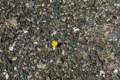 Εικόνα κινηματογραφήσεων σε πρώτο πλάνο της ανάπτυξης πικραλίδων από το αμμοχάλικο Η έννοια της ζωής και του κινήτρου Προσπάθεια  στοκ εικόνα με δικαίωμα ελεύθερης χρήσης