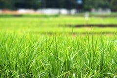 Εικόνα κινηματογραφήσεων σε πρώτο πλάνο του πράσινου τομέα ρυζιού με τη φύση θαμπάδων στοκ εικόνες με δικαίωμα ελεύθερης χρήσης